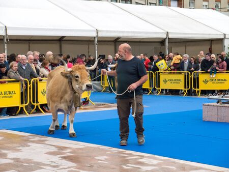 OVIEDO, SPAIN - May 12, 2018: Show of cows and bulls best in its breed at the Plaza Ferroviarios Asturianos in the city center, Oviedo, Spain. Sajtókép