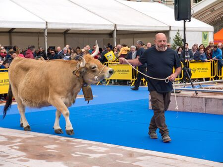 OVIEDO, SPAIN - May 12, 2018: Ð¡ows and bulls best in its breed presentation at the Plaza Ferroviarios Asturianos in the city center, Oviedo, Spain.
