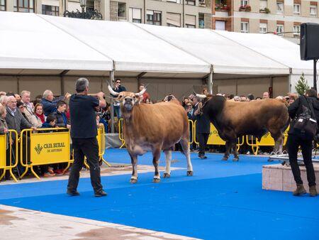 OVIEDO, SPAIN - May 12, 2018: Beef cattle breeding exhibition at the Plaza Ferroviarios Asturianos in the city center, Oviedo, Spain. Sajtókép