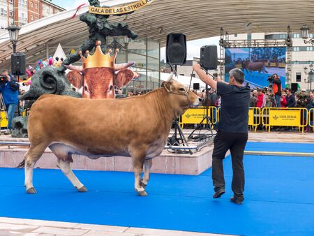 OVIEDO, SPAIN - May 12, 2018: Ð¡ows and bulls best in its breed gala show at the Ascension Fair in the city center, Oviedo, Spain.