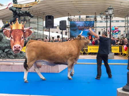 OVIEDO, SPAIN - May 12, 2018: Ð¡ows and bulls stars gala show at the Plaza Ferroviarios Asturianos in the city center at the Ascension Fair, Oviedo, Spain.