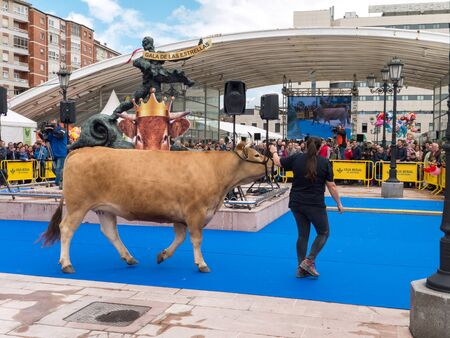 OVIEDO, SPAIN - May 12, 2018: Young woman presents the cow at the breeding exhibition at the Plaza Ferroviarios Asturianos on the Ascension Fair, Oviedo, Spain.