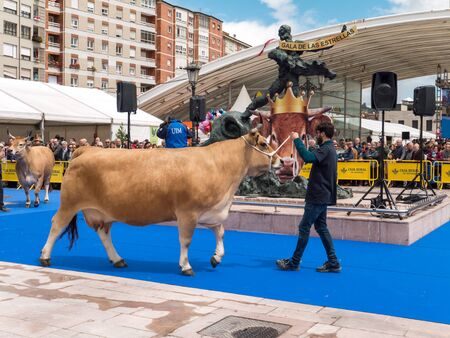 OVIEDO, SPAIN - May 12, 2018: Cows at the breeding exhibition at the Plaza Ferroviarios Asturianos on the Ascension Fair, Oviedo, Spain.