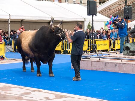OVIEDO, SPAIN - May 12, 2018: Huge bull on the breeding exhibition at the Plaza Ferroviarios Asturianos on the Ascension Fair, Oviedo, Spain.