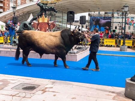 OVIEDO, SPAIN - May 12, 2018: Stockbreeder presents the bull at the breeding gala show at the Plaza Ferroviarios Asturianos on the Ascension Fair, Oviedo, Spain.