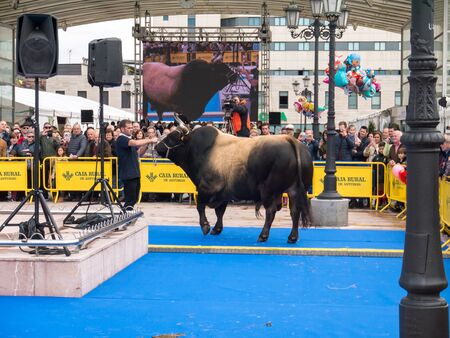 OVIEDO, SPAIN - May 12, 2018: Stockbreeder presents the champion bull at the breeding gala show on the Ascension Fair, Oviedo, Spain.