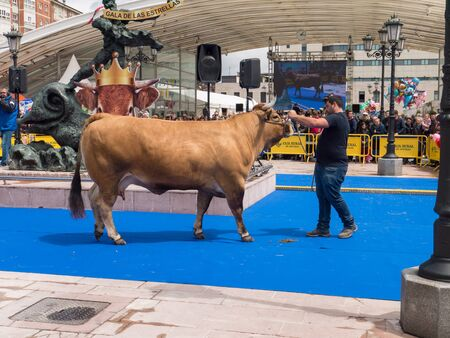 OVIEDO, SPAIN - May 12, 2018: Stockbreeder presents the champion cow at the breeding gala show on the Ascension Fair, Oviedo, Spain.