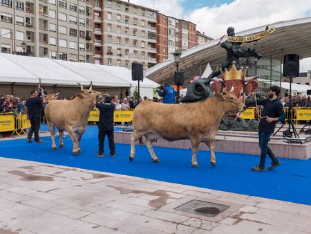 OVIEDO, SPAIN - May 12, 2018: Best in its breed cows parade at the breeding exhibition on the Ascension Fair, Oviedo, Spain.