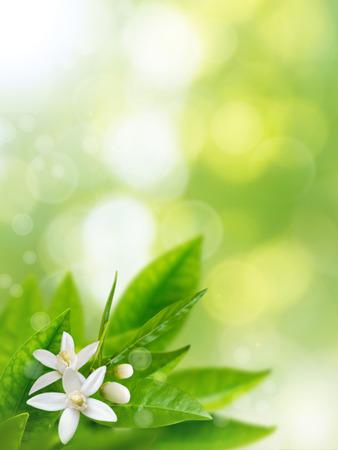 Oranje witte bloemen op de lente wazig tuin verticale achtergrond. Neroli bloesem