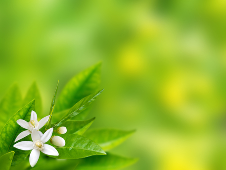 White flowers in the corner of spring with blurred garden background. Neroli blossom