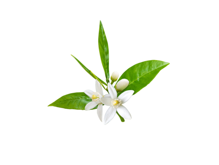 Tak van sinaasappelboom met witte geurende bloemen, knoppen en bladeren die op wit worden geïsoleerd. Neroli bloesem.