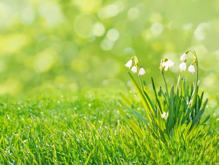 Bucaneve fiori bianchi sulla primavera sfocato sfondo prato erba
