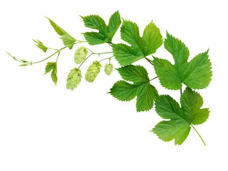 Hop branch with leaves and flowers isolated on white