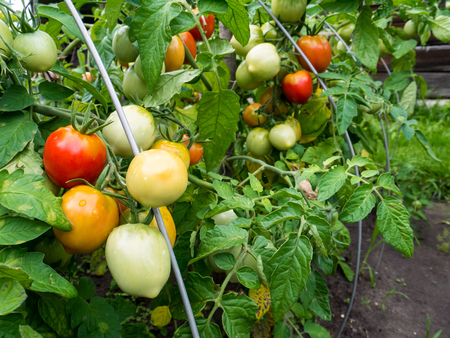 Ripe red and green tomatoes. Growing organic healthy food in the small ecological kithen garden. Reklamní fotografie