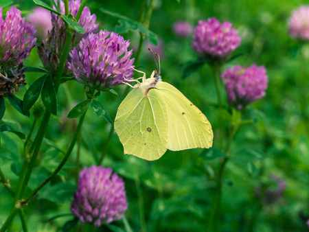 Pale yellow common brimstone butterfly or Gonepteryx rhamni on the red clover flower