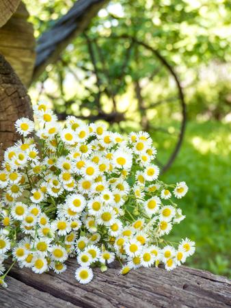 Daisy white yellow-eye flowers on the summer blurred rustic garden vertical background Reklamní fotografie