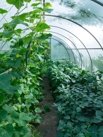 Growing organic healthy vegetables in the ecological greenhouse. Cucumbers and bell peppers. Reklamní fotografie