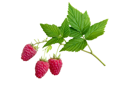 Raspberries and leaves branch isolated on white. Three dangling red berries.