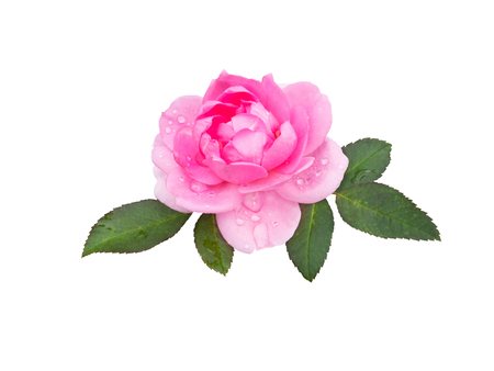 right pink rose flower with leaves and water drops isolated on white