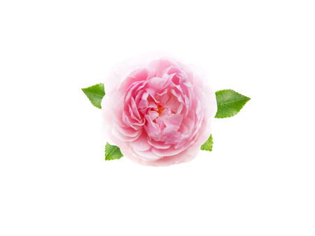 Pink antique rose flower with leaves isolated on white Reklamní fotografie