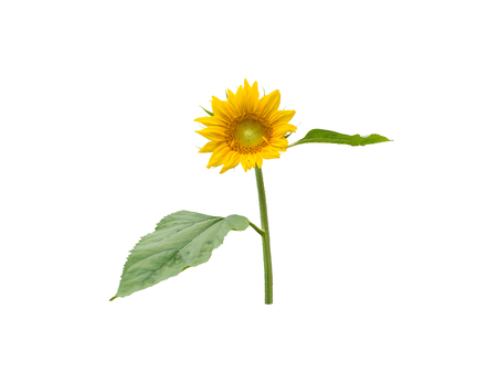 Sunflower round flower head with leaves and steam isolated on white Reklamní fotografie