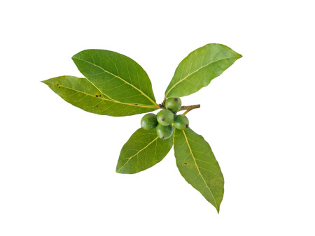 Bay laurel leaves and berries isolated on white. Laurus nobilis branch with drupes.