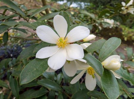Magnolia laevifolia or dianica flowering plant. White Michelia yunnanensis fragrant flowers.