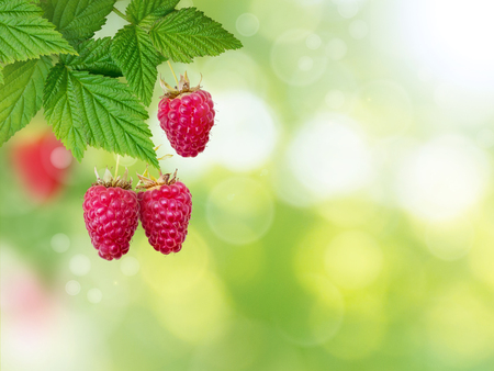 Raspberry branch. Ripe and juicy dangling red berries and fresh leaves on the blurred summer sunny garden background. Reklamní fotografie
