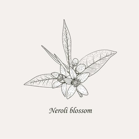 Rama de naranjo con hojas, capullos y flores fragantes blancas. Ilustración de vector de dibujo a mano blanco y negro de flor de neroli.