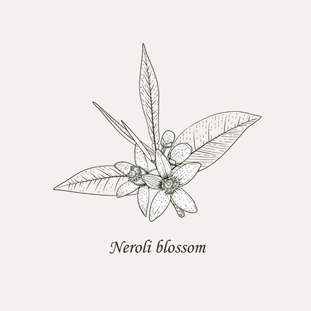 Branch of orange tree with white fragrant flowers, buds and leaves. Neroli blossom black and white hand drawing vector illustration.