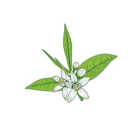 Branch of orange tree with white fragrant flowers, buds and leaves. Neroli blossom hand drawing vector illustration. Vettoriali