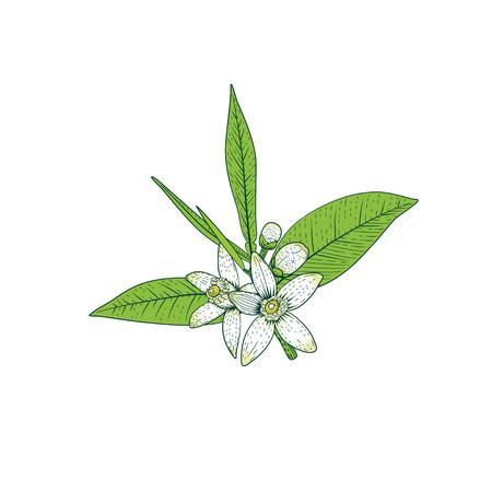 Rama de naranjo con flores blancas fragantes, brotes y hojas. Ilustración de vector de dibujo de mano de flor de neroli. Ilustración de vector