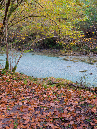 Alder trees bent over the blue crystal clear river water in the autumn forest. River bank covered with a carpet of brown fallen leaves.