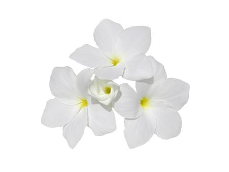 Bunch of frangipani fragrant flowers isolated on white. Plumeria blossom. Stock Photo