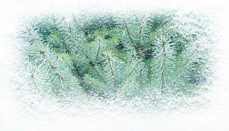 Winter green fir tree covered with snowfall horizontal banner background.