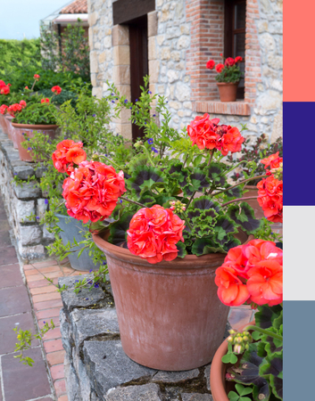Coral pelargonium in the terracotta pot palette. Color trend of the year 2019. Best colors matching coral. Reklamní fotografie