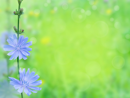 Chicory blue flowers. Cuccory branch on the blurred summer sunny field background.