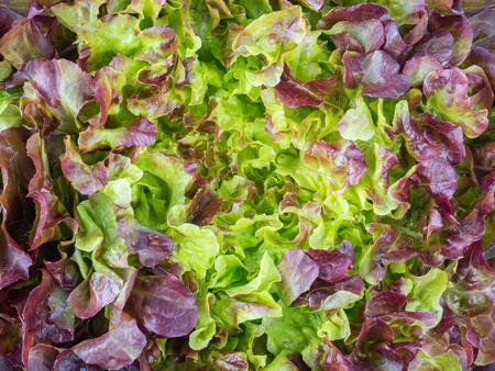 Purple oak leaf lettuce salad rosette top view background. Red leafy veggie. Anthocyanins food source. Stock Photo