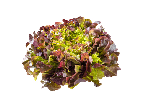 Purple oak leaf lettuce salad rosette isolated on white. Red leafy veggie. Anthocyanins food source. Imagens