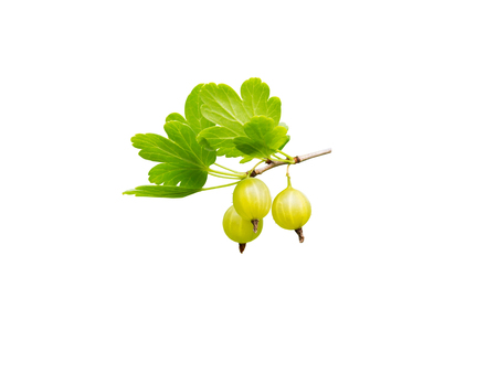 Gooseberry ripe yellow berries and green leaves isolated on white.