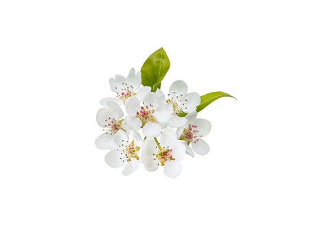 Apple tree flowers with leaves isolated on white. Stock Photo