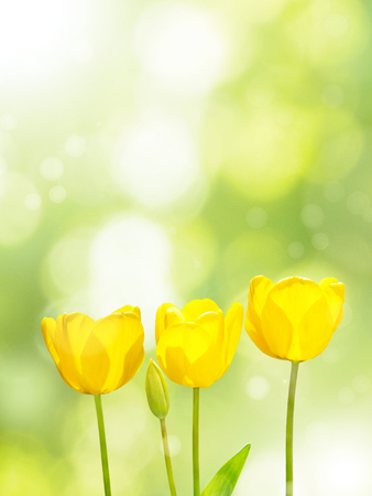 Three bright yellow tulips on the blurred green background. Three flowers in the spring sunny garden.