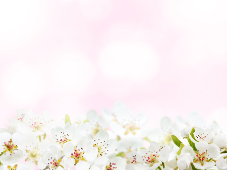 Apple white spring flowers on the pale pink blurred background Stock Photo