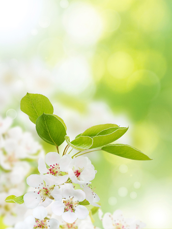 Apple tree white flowers on the spring blurred garden vertical background