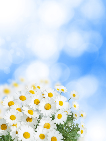 Daisy white yellow eye flowers on the blue summer sky blurred vertical background Reklamní fotografie - 117093768