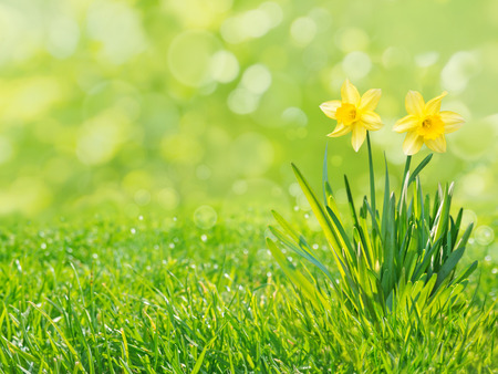 Two yellow daffodil flowers with leaves on the fresh green grass lawn spring blurred background