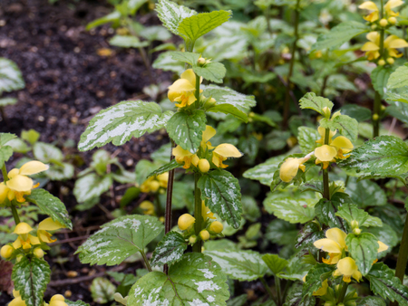 Lamium galeobdolon or yellow archangel flowering plant. Weasel-snout wildflower in the spring forest. Stock Photo