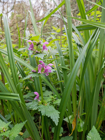 Lamium maculatum flowering plant in the spring forest. Purple spotted dead-nettle flowers. Spotted henbit or purple dragon wildflower. Stok Fotoğraf
