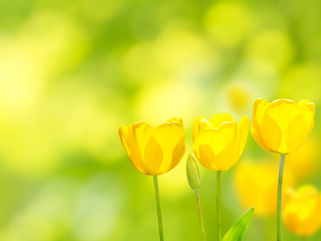 Three bright yellow tulips on the blurred background. Flowers in the spring sunny garden. Stock Photo