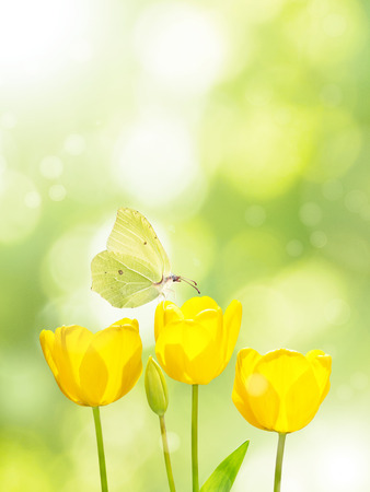 Bright yellow tulips and butterfly on the blurred green background. Three flowers in the spring sunny garden. Stock Photo